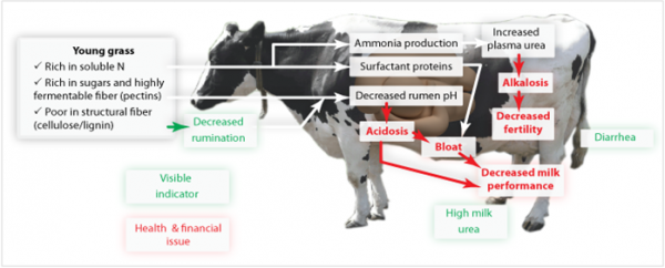 Figure 1: Main risks and consequences of early grazing for the cows rumen function and metabolism.